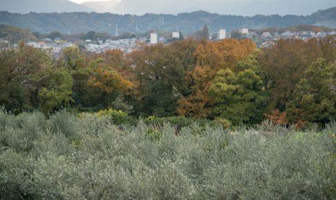 湘南の相模湾を望むオリーブ畑