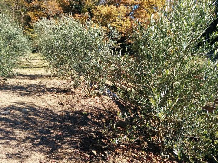 現在約20種類250本のオリーブの木が植栽